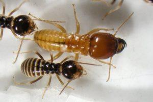 جنود النمل البيض